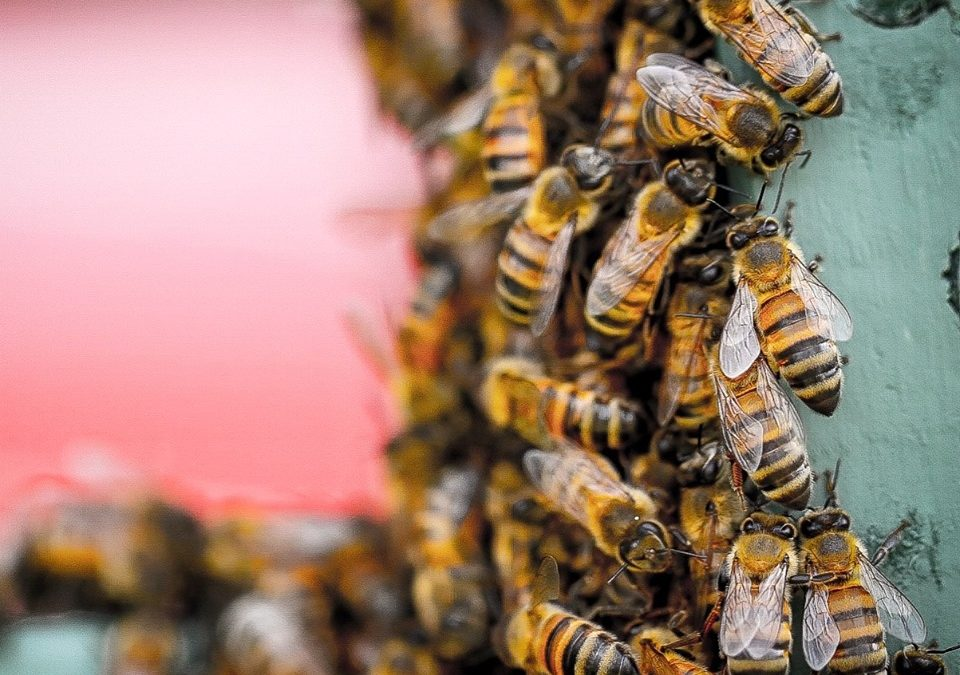 Bee Venom and its Effects on Breast Cancer